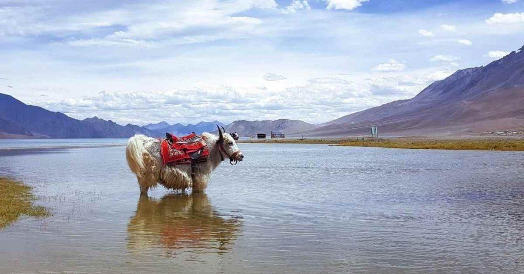 Adventure-pulse_things to do Ladakh_pangong